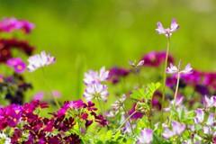 蓮華と桜草