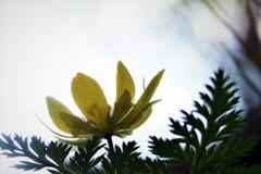 福寿草が見る空