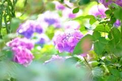 まだまだ紫陽花 2