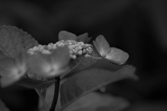 我が家の紫陽花 1