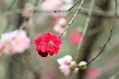 桃も開花②