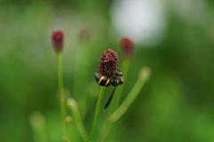 蜂と吾亦紅