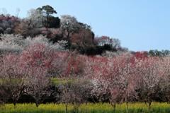 高知 西川公園花まつり 2
