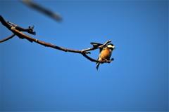 野鳥撮りに行ってきました(ヤマガラ)