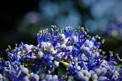 紫陽花の歌