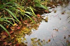 水面の落葉