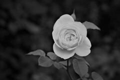 モノクロームな薔薇