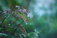 枯れ葉と雫