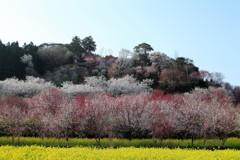 高知 西川公園花まつり