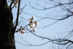 花見桜 Ⅲ