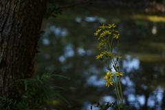 池とつわぶき