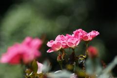 秋日和の薔薇