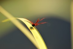 モネの池を飛び交う赤とんぼ