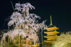 夜風に揺れる不二の桜と黄金の塔