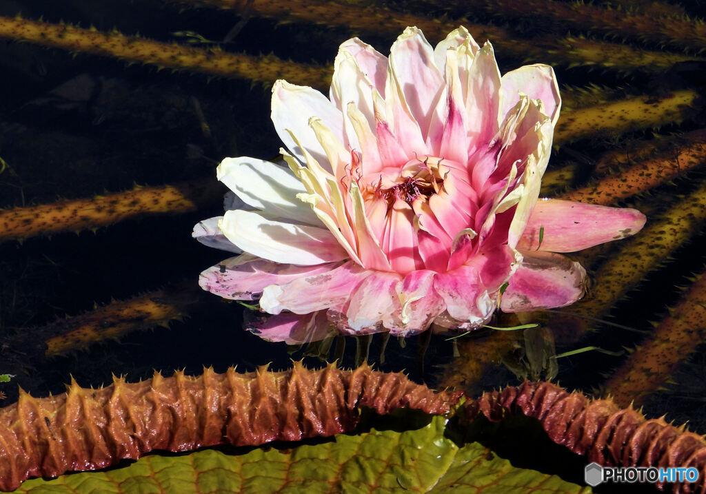 ウルグァイオニバスの巨大花