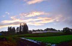 レタス畑の朝