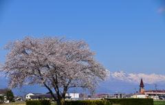 アルプスと一本桜