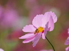 おいしい秋桜
