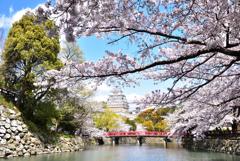 今年の姫路城桜2