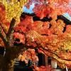 錦織~京都 Shinnyo-dō Temple Autumn Leaves
