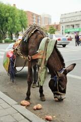 甘藷食むロバ~中国 Donkey eats sweet potatoes