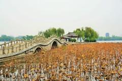 大明湖の破れ蓮~中国 Dead and Broken Lotus Leaves