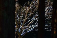 樹間の白枝