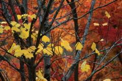 紅葉の中の黄葉