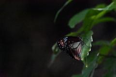 旅するチョウ アサギマダラ2