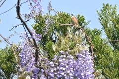 ホオジロくん藤の花に囲まれて唄う