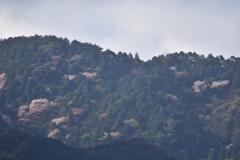 ヤマザクラ 西油山