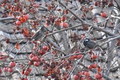 柿をついばむムクドリ