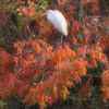 ダイサギと紅葉