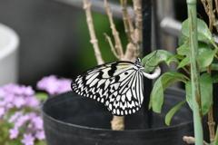 オオゴマダラ 福岡市動植物園