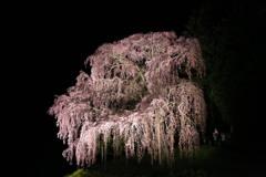 合戦場のしだれ桜#2