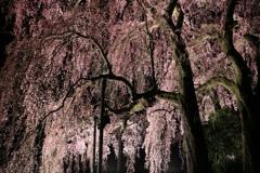 合戦場のしだれ桜#3