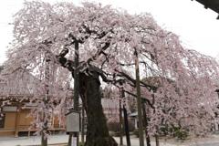 円東寺の枝垂れ桜