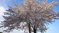 フライング桜!