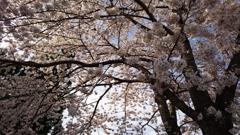 フライング桜!!