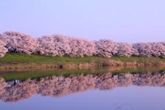 白石川堤一目千本桜#1