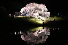 中島の地蔵桜#1