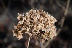 花見山散策(枯れ紫陽花)