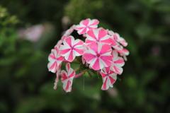 ピンクの花3/2