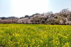 菜の花畑に桜