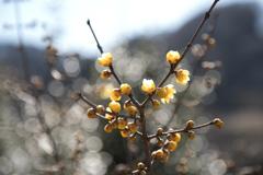 花見山散策(ロウバイ)