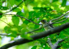 キビタキ(幼鳥)