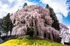 合戦場の枝垂れ桜#2