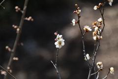花見山散策(白梅)