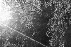 光射す枝垂れ桜
