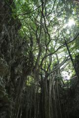 大主(ウフシュ)ガジュマルの木